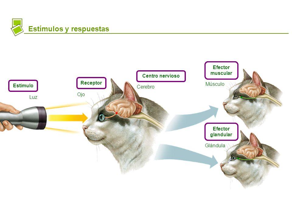 Estímulos y respuestas Estímulo Receptor Centro nervioso Efector muscular Efector glandular Luz Ojo Cerebro Músculo Glándula