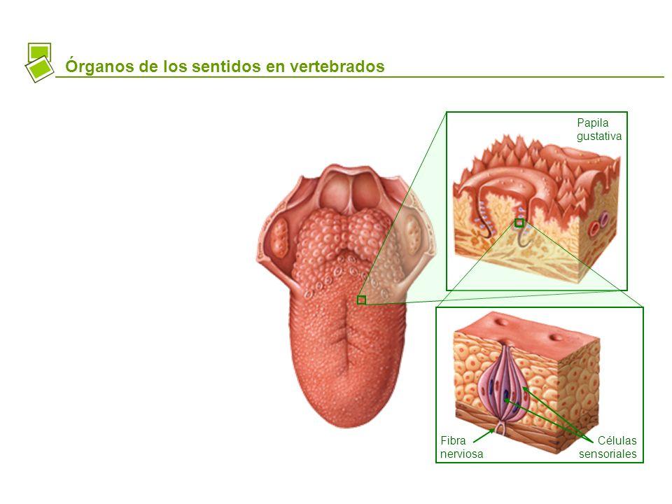 Órganos de los sentidos en vertebrados Papila gustativa Células sensoriales Fibra nerviosa