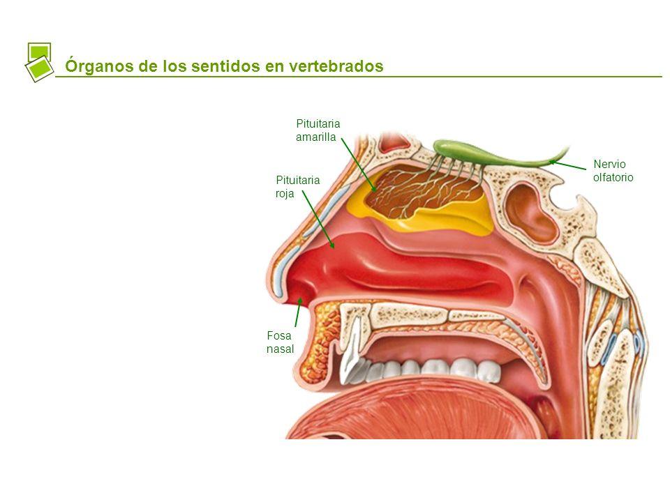 Órganos de los sentidos en vertebrados Nervio olfatorio Pituitaria amarilla Pituitaria roja Fosa nasal