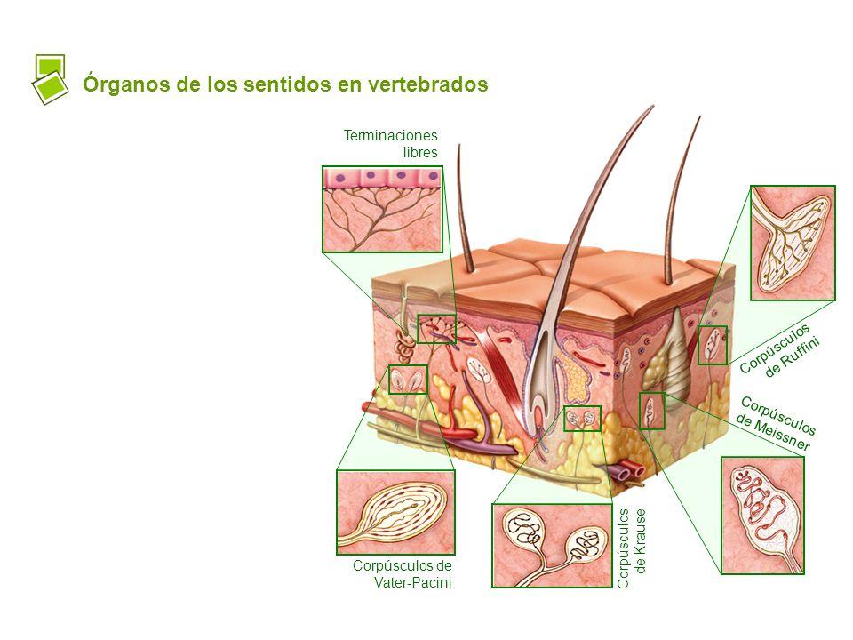 Órganos de los sentidos en vertebrados Terminaciones libres Corpúsculos de Ruffini Corpúsculos de Meissner Corpúsculos de Krause Corpúsculos de Vater-