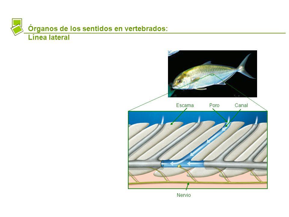 Órganos de los sentidos en vertebrados: Línea lateral EscamaPoroCanal Nervio