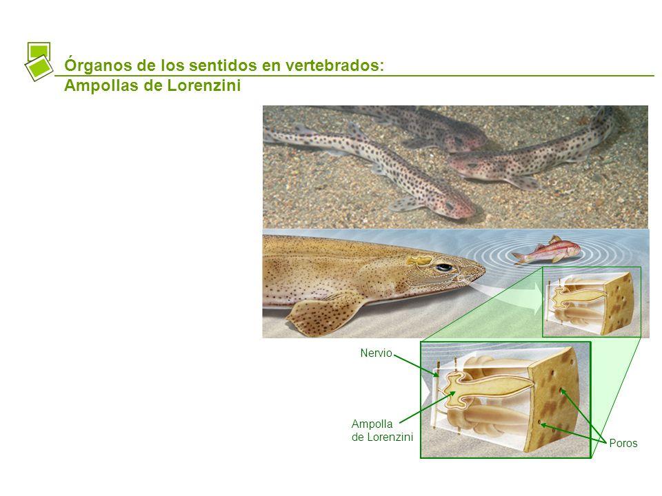 Órganos de los sentidos en vertebrados: Ampollas de Lorenzini Nervio Ampolla de Lorenzini Poros