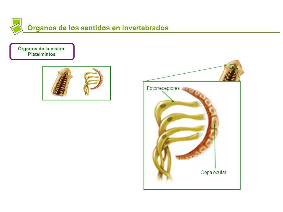 Platelminto Órganos de los sentidos en invertebrados Órganos de la visión: Platelmintos Fotorreceptores Copa ocular Fotorreceptores