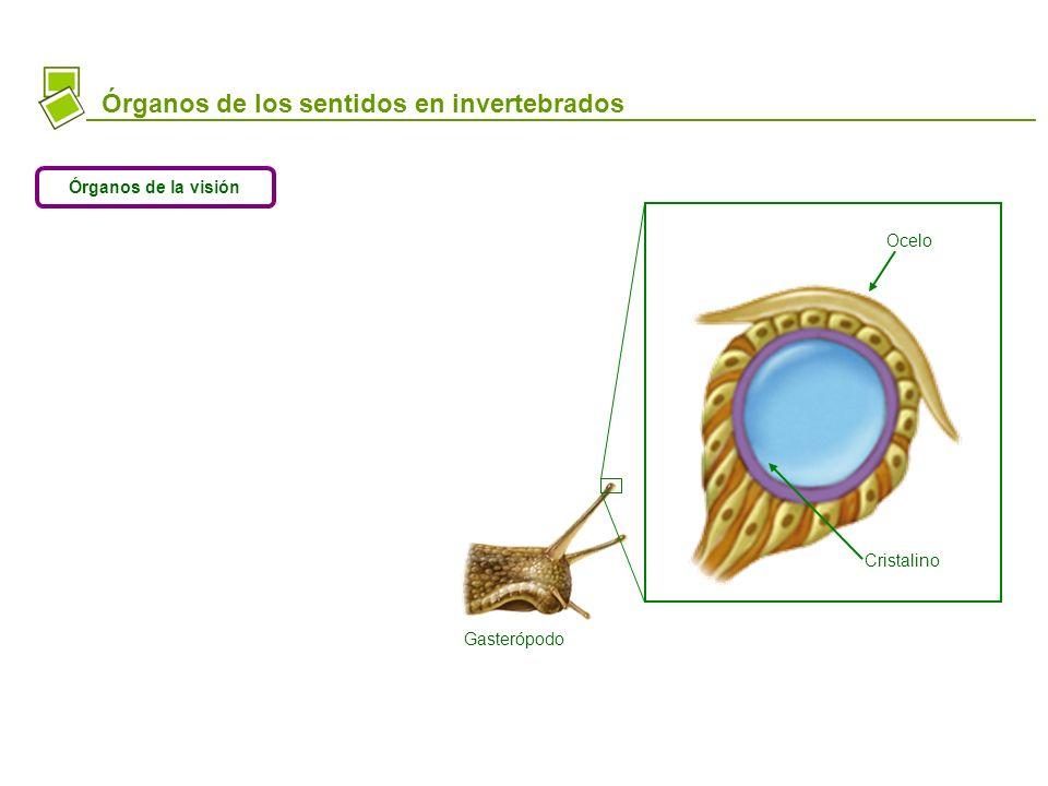 Platelminto Gasterópodo Órganos de los sentidos en invertebrados Órganos de la visión Ocelo Cristalino