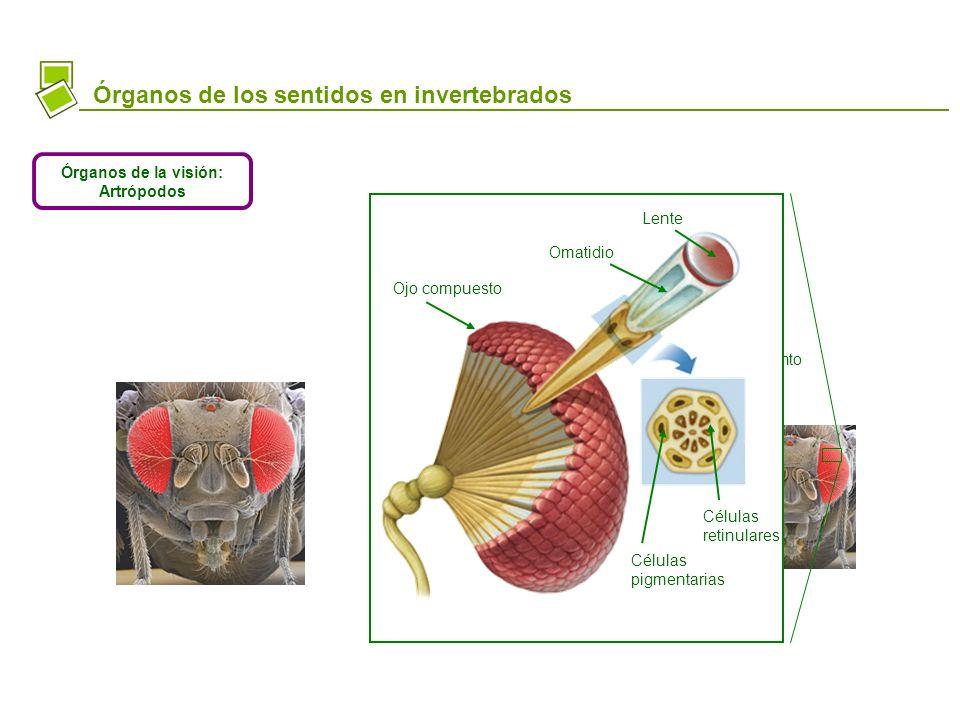 CnidariosPlatelminto GasterópodoArtrópodo (ojo compuesto) Órganos de los sentidos en invertebrados Órganos de la visión: Artrópodos Lente Omatidio Ojo