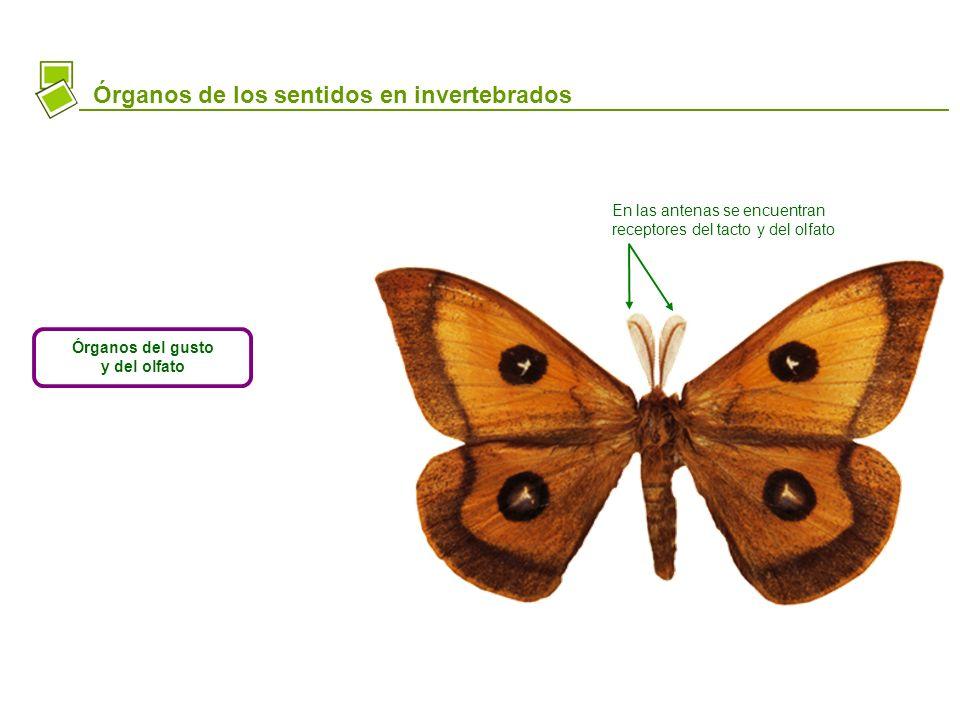 Órganos de los sentidos en invertebrados Órganos del gusto y del olfato En las antenas se encuentran receptores del tacto y del olfato