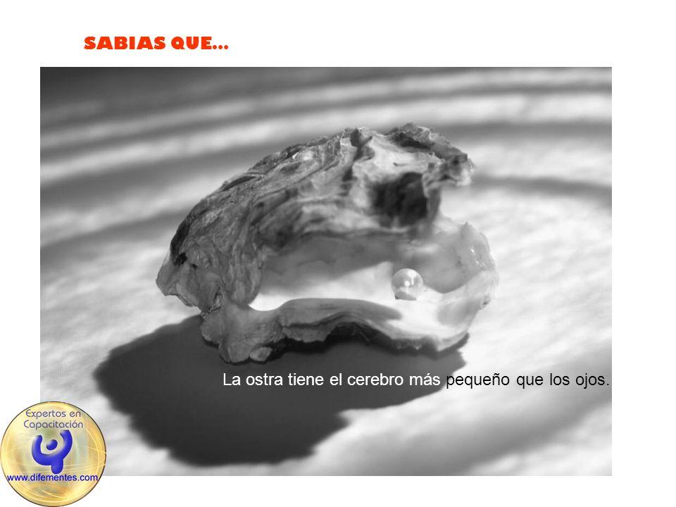 SABIAS QUE… La ostra tiene el cerebro más pequeño que los ojos.