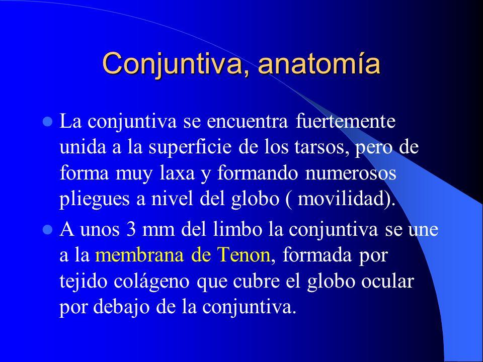 Conjuntiva, anatomía La conjuntiva se encuentra fuertemente unida a la superficie de los tarsos, pero de forma muy laxa y formando numerosos pliegues