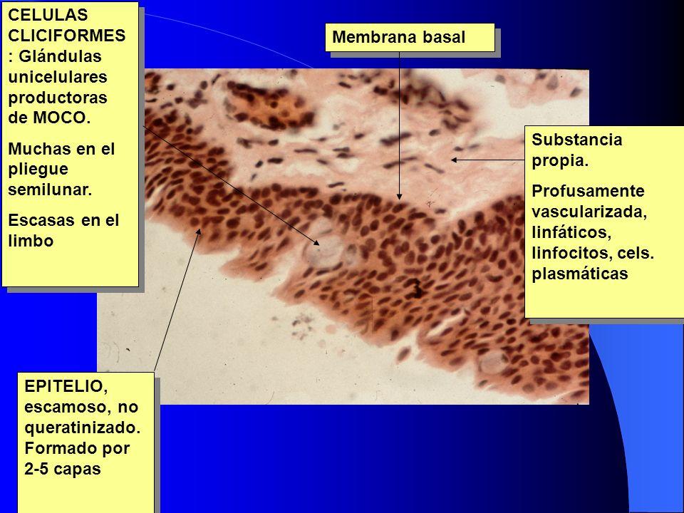 EPITELIO, escamoso, no queratinizado. Formado por 2-5 capas CELULAS CLICIFORMES : Glándulas unicelulares productoras de MOCO. Muchas en el pliegue sem