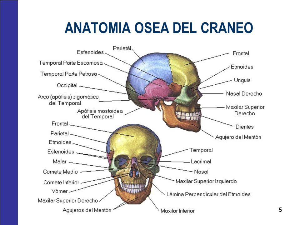 ANATOMIA OSEA DEL CRANEO 5