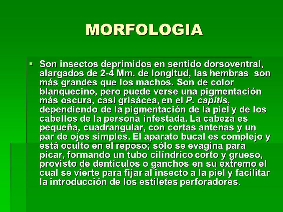 MORFOLOGIA Son insectos deprimidos en sentido dorsoventral, alargados de 2-4 Mm.