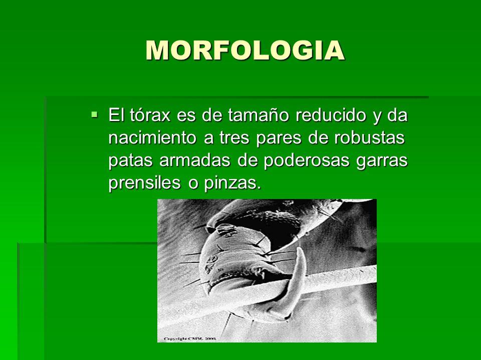 MORFOLOGIA El tórax es de tamaño reducido y da nacimiento a tres pares de robustas patas armadas de poderosas garras prensiles o pinzas. El tórax es d
