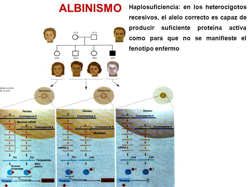 ALBINISMO Haplosuficiencia: en los heterocigotos recesivos, el alelo correcto es capaz de producir suficiente proteína activa como para que no se manifieste el fenotipo enfermo