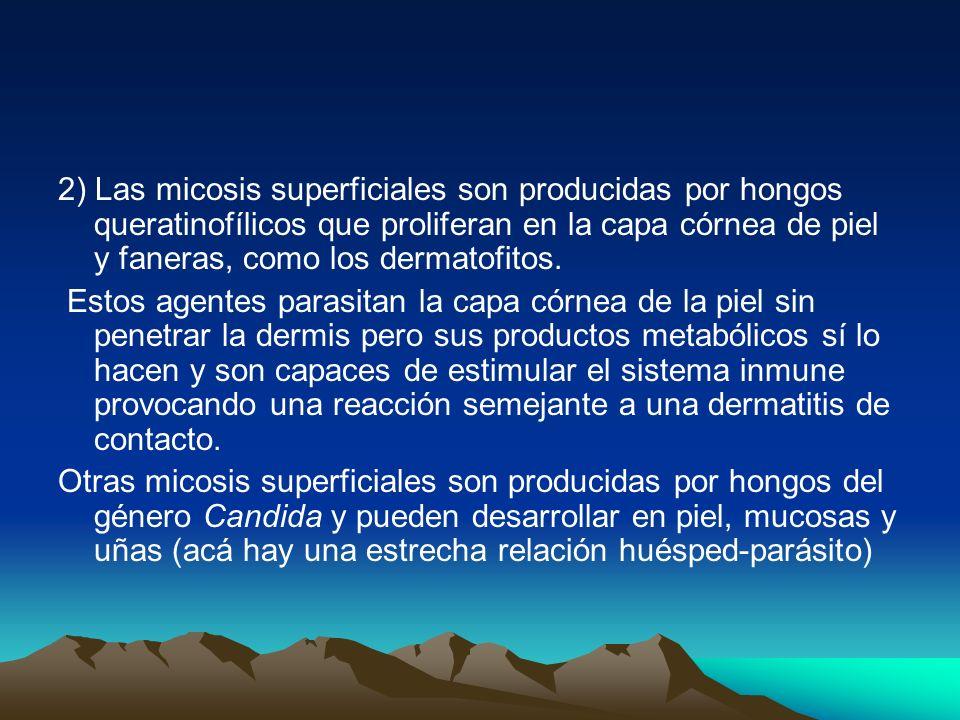2) Las micosis superficiales son producidas por hongos queratinofílicos que proliferan en la capa córnea de piel y faneras, como los dermatofitos. Est