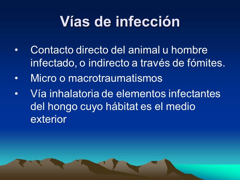 Vías de infección Contacto directo del animal u hombre infectado, o indirecto a través de fómites. Micro o macrotraumatismos Vía inhalatoria de elemen