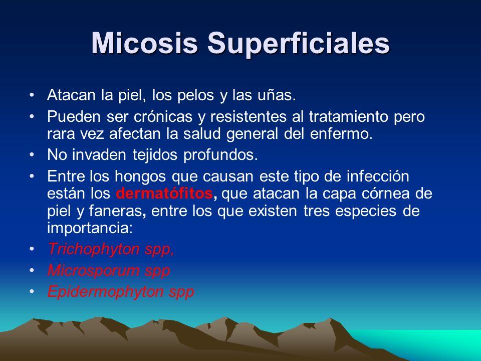 Micosis Superficiales Atacan la piel, los pelos y las uñas. Pueden ser crónicas y resistentes al tratamiento pero rara vez afectan la salud general de