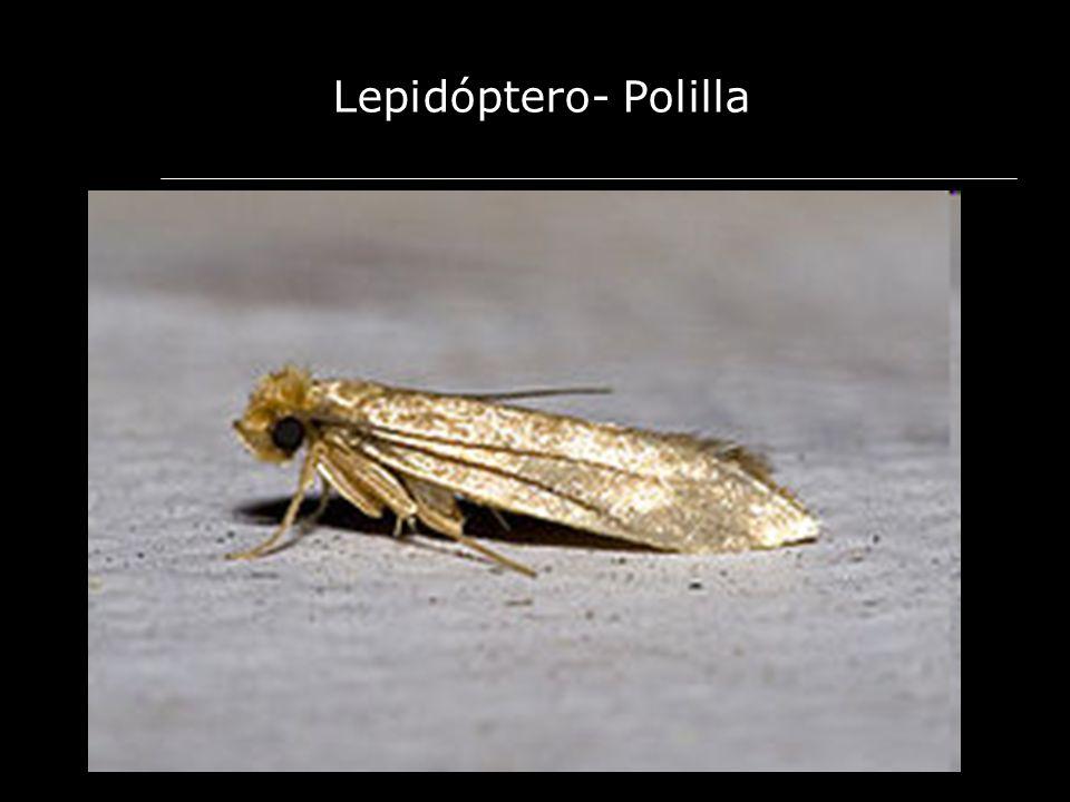 Lepidóptero- Polilla
