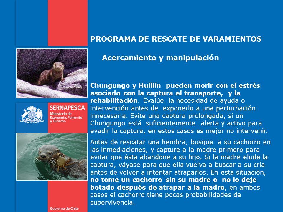 PROGRAMA DE RESCATE DE VARAMIENTOS Acercamiento y manipulación Chungungo y Huillín pueden morir con el estrés asociado con la captura el transporte, y la rehabilitación.