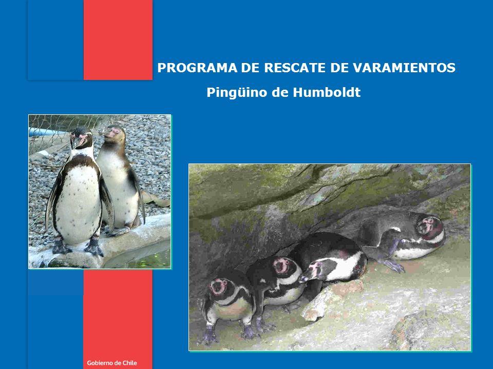 PROGRAMA DE RESCATE DE VARAMIENTOS Pingüino de Humboldt