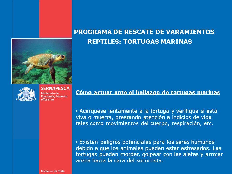 PROGRAMA DE RESCATE DE VARAMIENTOS REPTILES: TORTUGAS MARINAS Cómo actuar ante el hallazgo de tortugas marinas Acérquese lentamente a la tortuga y ver
