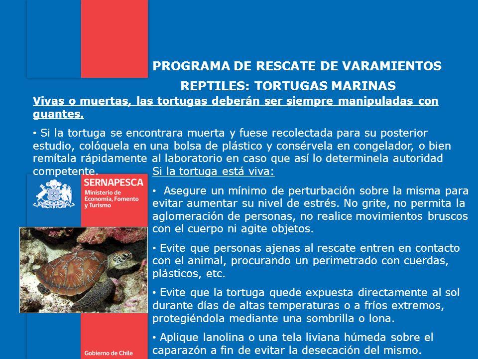 PROGRAMA DE RESCATE DE VARAMIENTOS REPTILES: TORTUGAS MARINAS Vivas o muertas, las tortugas deberán ser siempre manipuladas con guantes. Si la tortuga