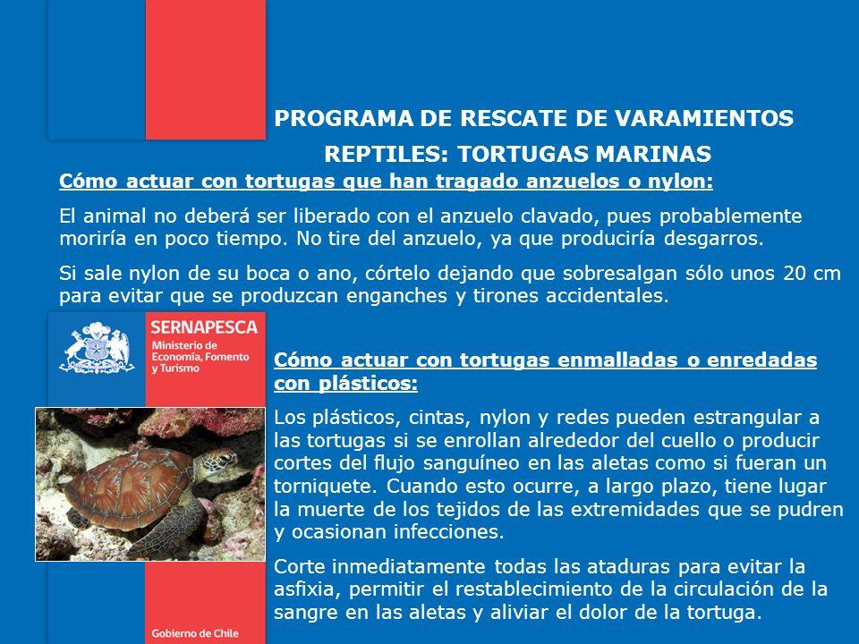 PROGRAMA DE RESCATE DE VARAMIENTOS REPTILES: TORTUGAS MARINAS Cómo actuar con tortugas que han tragado anzuelos o nylon: El animal no deberá ser liber