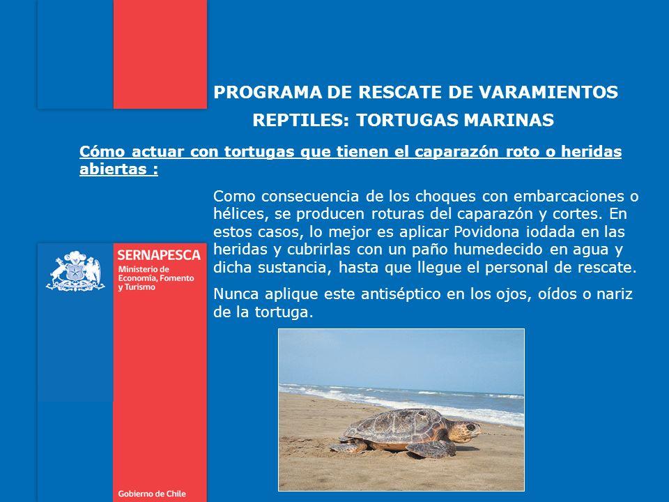 PROGRAMA DE RESCATE DE VARAMIENTOS REPTILES: TORTUGAS MARINAS Cómo actuar con tortugas que tienen el caparazón roto o heridas abiertas : Como consecue