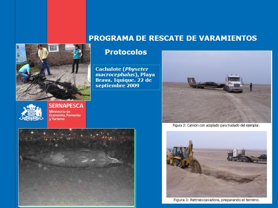 PROGRAMA DE RESCATE DE VARAMIENTOS Protocolos Cachalote (Physeter macrocephalus), Playa Brava. Iquique. 22 de septiembre 2009