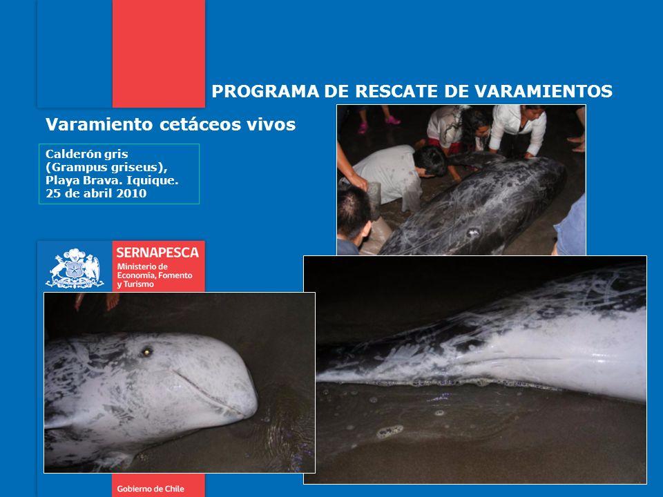 PROGRAMA DE RESCATE DE VARAMIENTOS Varamiento cetáceos vivos Calderón gris (Grampus griseus), Playa Brava.