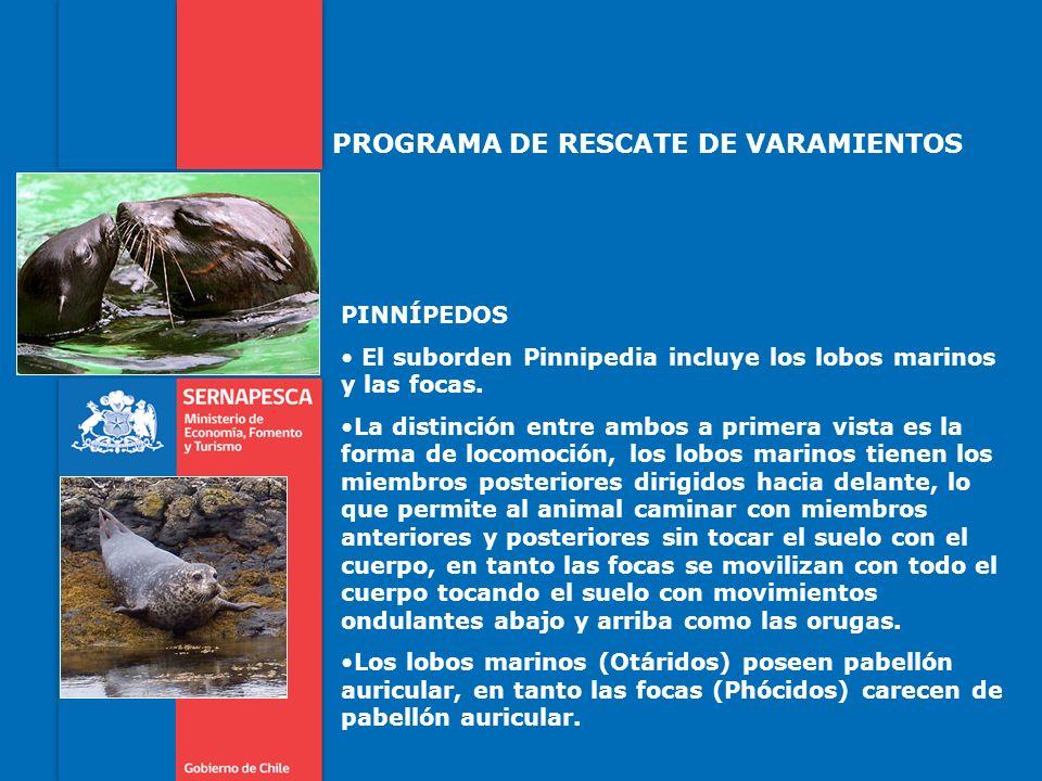 PROGRAMA DE RESCATE DE VARAMIENTOS PINNÍPEDOS El suborden Pinnipedia incluye los lobos marinos y las focas. La distinción entre ambos a primera vista