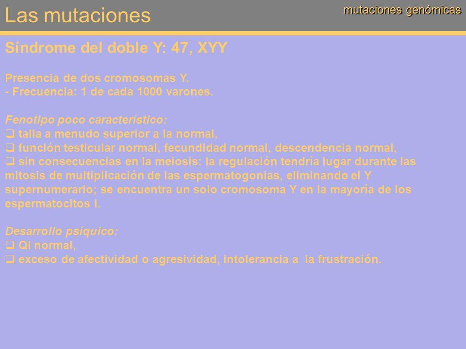 Las mutaciones mutaciones genómicas Síndrome del doble Y: 47, XYY Presencia de dos cromosomas Y. - Frecuencia: 1 de cada 1000 varones. Fenotipo poco c