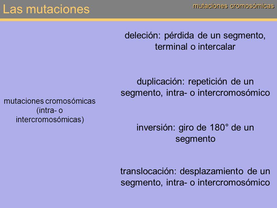 Las mutaciones mutaciones cromosómicas deleción: pérdida de un segmento, terminal o intercalar mutaciones cromosómicas (intra- o intercromosómicas) du