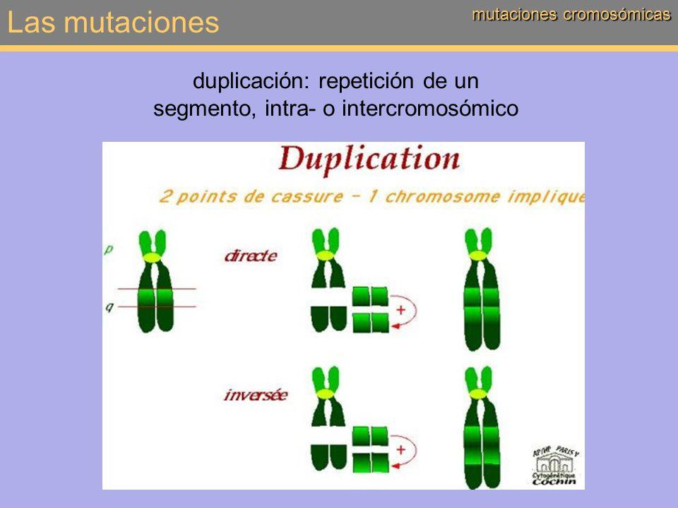 Las mutaciones mutaciones cromosómicas duplicación: repetición de un segmento, intra- o intercromosómico