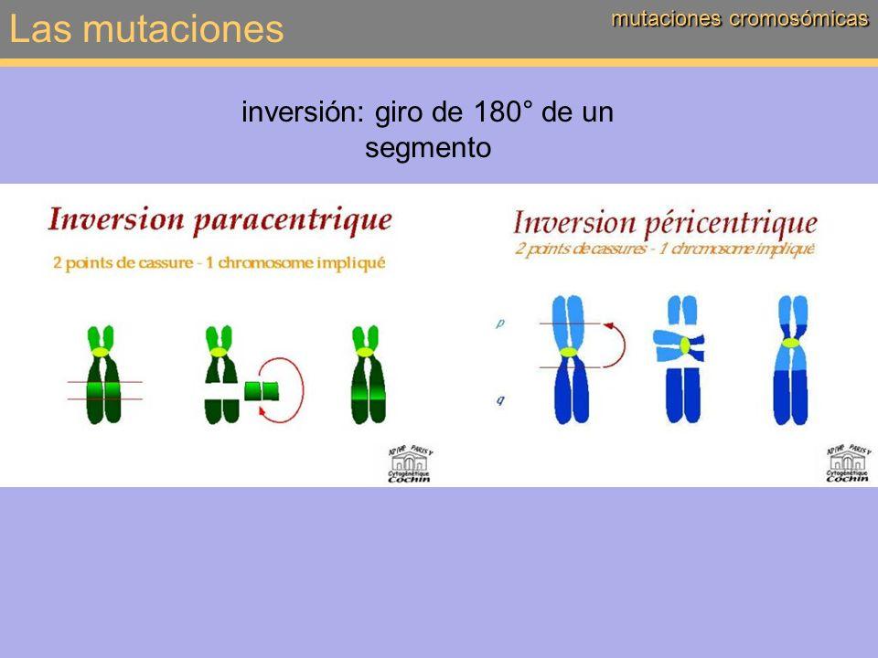 Las mutaciones mutaciones cromosómicas translocación: desplazamiento de un segmento, intra- o intercromosómico