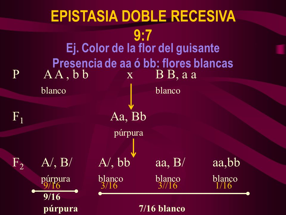 P A A, b b xB B, a ablanco F 1 Aa, Bb púrpura F 2 A/, B/A/, bbaa, B/aa,bb púrpurablancoblancoblanco EPISTASIA DOBLE RECESIVA 9:7 9/163/163//161/16 9/1