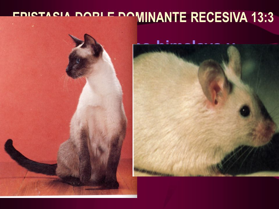 EPISTASIA DOBLE DOMINANTE RECESIVA 13:3 Ej. Color en conejos himalaya y gatos siameses C - Permite pigmento ( melanina) >c - albino c b - pigmento sol