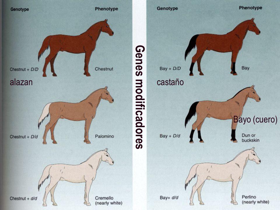 Genes modificadores alazancastaño Bayo (cuero)