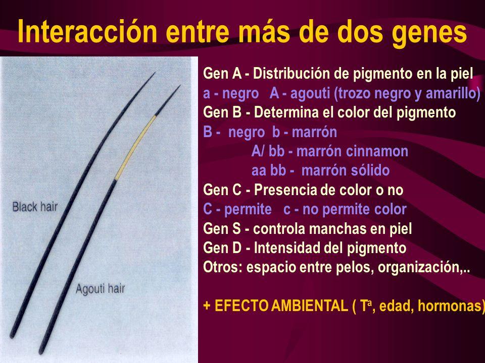 Interacción entre más de dos genes Gen A - Distribución de pigmento en la piel a - negro A - agouti (trozo negro y amarillo) Gen B - Determina el colo