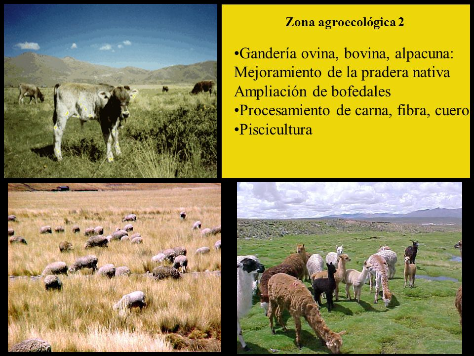 Gandería ovina, bovina, alpacuna: Mejoramiento de la pradera nativa Ampliación de bofedales Procesamiento de carna, fibra, cuero Piscicultura Zona agroecológica 2