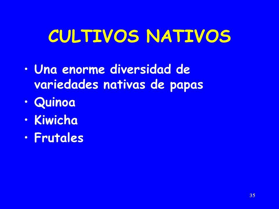 35 CULTIVOS NATIVOS Una enorme diversidad de variedades nativas de papas Quinoa Kiwicha Frutales