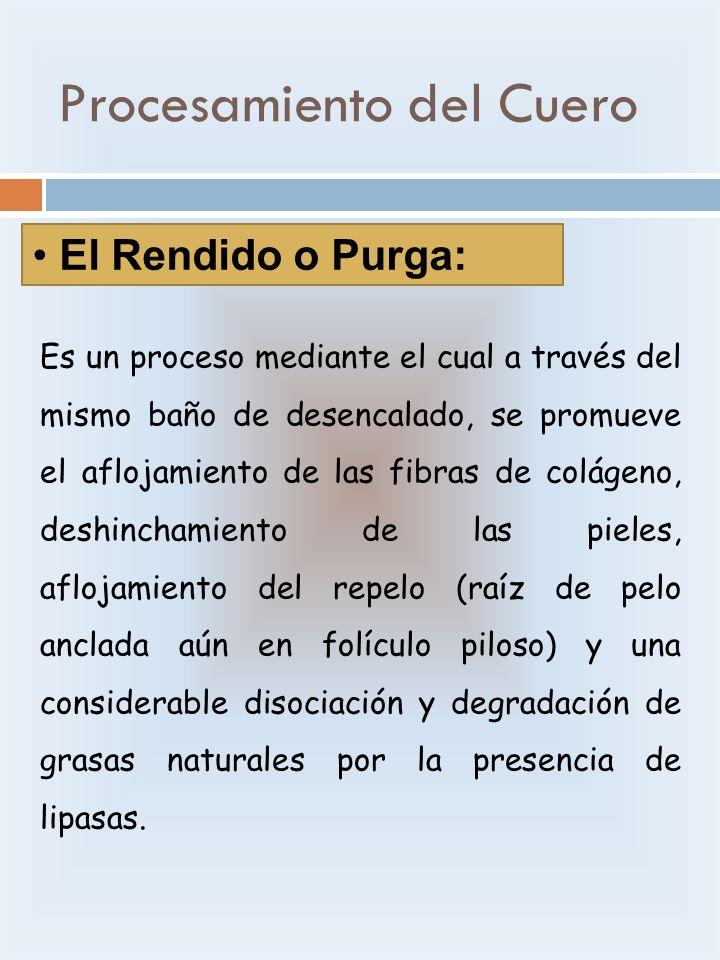 Procesamiento del Cuero El Rendido o Purga: Es un proceso mediante el cual a través del mismo baño de desencalado, se promueve el aflojamiento de las