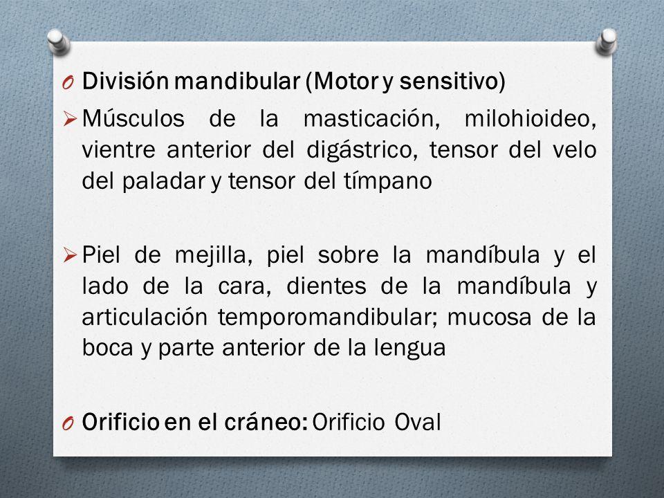 O División mandibular (Motor y sensitivo) Músculos de la masticación, milohioideo, vientre anterior del digástrico, tensor del velo del paladar y tens