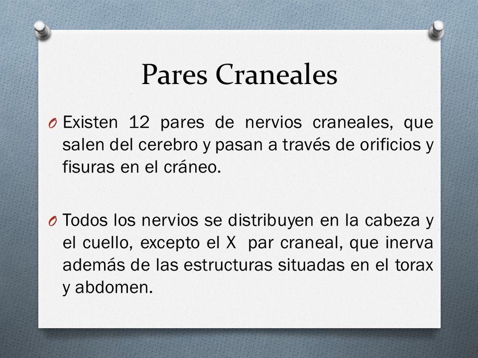 Pares Craneales O Existen 12 pares de nervios craneales, que salen del cerebro y pasan a través de orificios y fisuras en el cráneo. O Todos los nervi