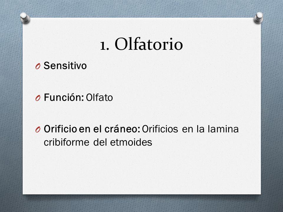 1. Olfatorio O Sensitivo O Función: Olfato O Orificio en el cráneo: Orificios en la lamina cribiforme del etmoides