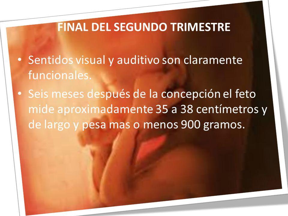 FINAL DEL SEGUNDO TRIMESTRE Sentidos visual y auditivo son claramente funcionales. Seis meses después de la concepción el feto mide aproximadamente 35