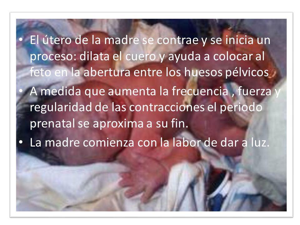 El útero de la madre se contrae y se inicia un proceso: dilata el cuero y ayuda a colocar al feto en la abertura entre los huesos pélvicos A medida qu