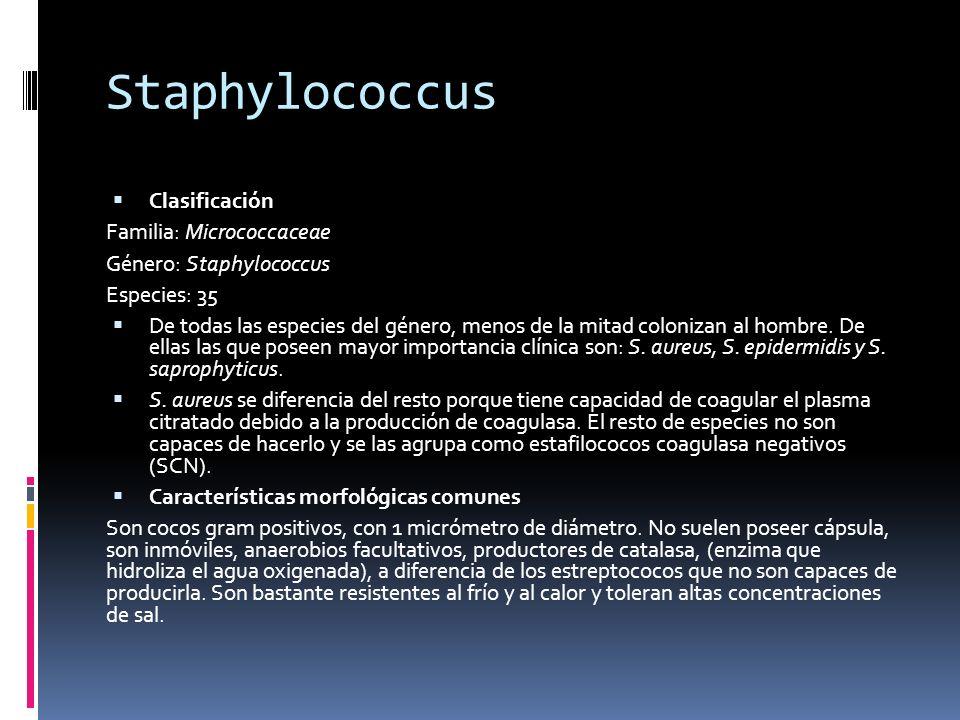 Staphylococcus Clasificación Familia: Micrococcaceae Género: Staphylococcus Especies: 35 De todas las especies del género, menos de la mitad colonizan