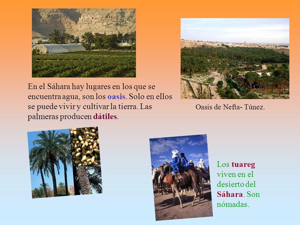 Oasis de Nefta- Túnez.En el Sáhara hay lugares en los que se encuentra agua, son los oasis.