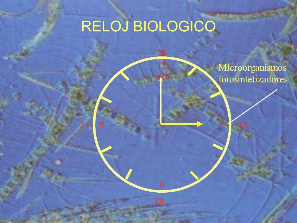 12 00 9 3 6 15 18 21 24 Microorganismos fotosintetizadores RELOJ BIOLOGICO