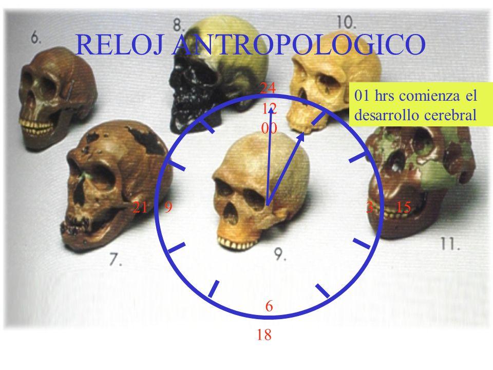 12 00 9 3 6 15 18 21 24 01 hrs comienza el desarrollo cerebral RELOJ ANTROPOLOGICO
